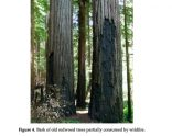 Redwood Tree Bark Thickness and Fire Resistance